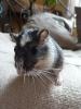 Sedy - éleveur de rongeur HamsterStory