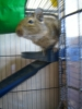 liloucmoi24 - éleveur de rongeur HamsterStory