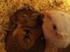 maviloup - éleveur de rongeur HamsterStory