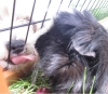 belle-76 - éleveur de rongeur HamsterStory