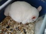 Chinchilla Blanche-Neige - Chinchilla Femelle (0 mois)