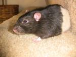 Rat Beetle - Rat gris Mâle (Autre)