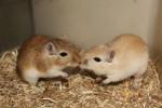 Gerbille Bisous - Gerbille Femelle (6 mois)