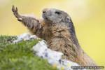 Myrtille - Marmotte