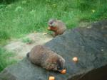 m - Marmotte