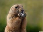 Asila - Marmotte