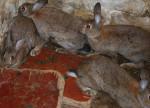 mes lapins garenne - Lapin de garenne