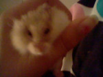 Scruffy Jr. - Hamster de Campbell Mâle