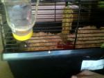 Hamster Hazelnut - Hamster de Roborovsky Femelle (5 mois)