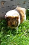 Cochon d\'inde à poil lisse Rina - Cochon d\'inde Rosette Femelle (Autre)