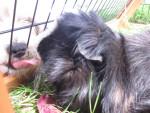 Cochon d'inde à poil long Kiki - Cochon d'Inde Péruvien Femelle (4 ans)