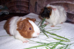 Cochon d\'inde à poil long Pitchou,Cachou - Cochon d\'Inde Péruvien Mâle (10 mois)