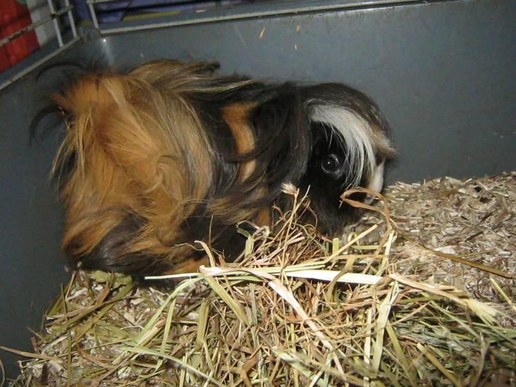 Lassie - Cochon d'Inde Péruvien (1 an)
