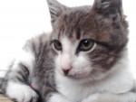 Chat B'rascôô - Mâle (8 mois)