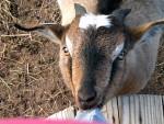 Willie - Chèvre Mâle (1 an)