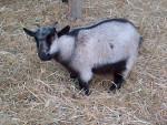 Douchka - Chèvre Mâle (10 mois)