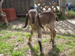 Chèvre Baby - Femelle (1 mois)