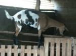 Chèvre Galipette - Femelle (Vient de naître)