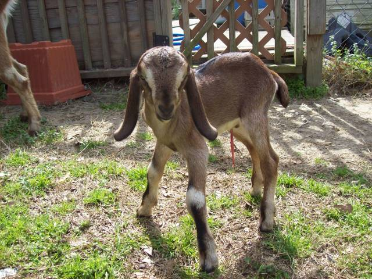 Chèvre Baby - Mâle (1 mois)