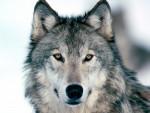 WolfBlood - Loup Mâle (1 an)