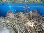 Oiseau des petits moineaux -  (1 an)