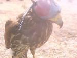 Oiseau miidgar -  (0 mois)