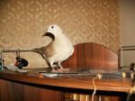 Oiseau Doudoune - Femelle (2 ans)