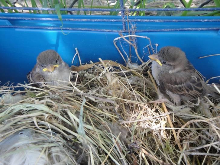 des petits moineaux - Oiseau (1 an)