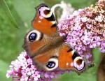 Papillon Paon du jour -  (Vient de naître)