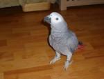 Silver - Perroquet