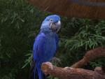 Blu - Perroquet Mâle (15 ans)