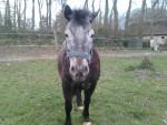 Poney Ninon - Femelle (13 ans)