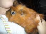 Cochon d'Inde cerise -  Femelle (9 mois)