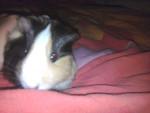 Cochon d'Inde britanie -  Femelle (1 an)