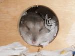 Hamster Fine -  Femelle (2 ans)