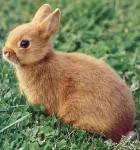 Petit lapin Mimi -  Femelle (1 mois)