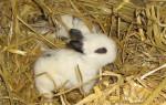 Petit lapin Baby -  Mâle (3 mois)