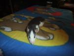 Rat Sloan -  Femelle (2 mois)