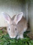 Grand lapin cacao -  Femelle (0 mois)