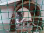 Rat Moustache  -  Femelle (2 ans)