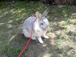 Petit lapin Mausi -  Femelle (3 ans)