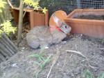 Petit lapin Paula -  Femelle (7 ans)