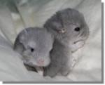 Chinchilla bianca et noix -  Femelle (1 mois)
