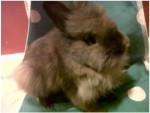 Lapin avec pelage spécifique Logan -  Femelle (9 mois)