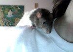 Rat Ratatouille -  Femelle (1 an)