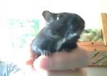 gerbille - Mâle (9 mois)