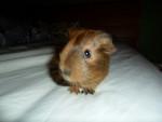 Cochon d'Inde Rodney -  Mâle (2 ans)