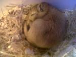 Gerbille Imé -  Mâle (2 mois)