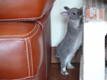 Lapin Lapin chasse -  Femelle (2 ans)