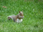 Écureuil cacahuette -  Femelle (0 mois)